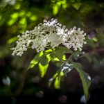 ElderflowerLBThek_fb